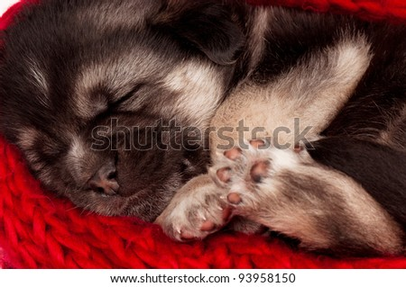 Close-up of cute sleeping puppy of 3 weeks old