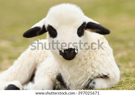 close up of cute white lamb standing on green lawn near the farm - stock photo
