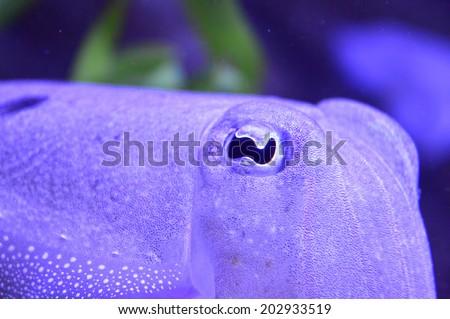 Close Up of Cuttlefish Eye - stock photo