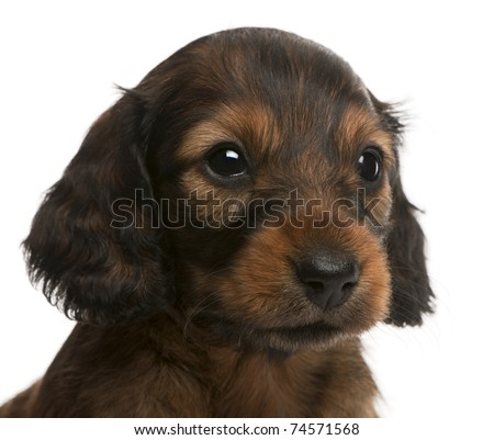 Close-up of Dachshund puppy, 5 weeks old, in front of white background - stock photo