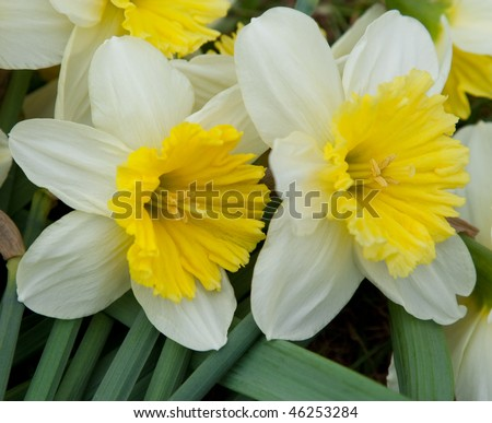 close-up of daffodils - stock photo