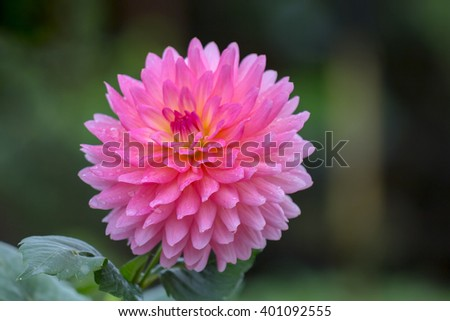 Close up of Dahlia flowers in garden after rain   - stock photo