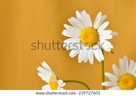 close-up of daisies with water droplets on the petals on yellow background, horizontal - stock photo