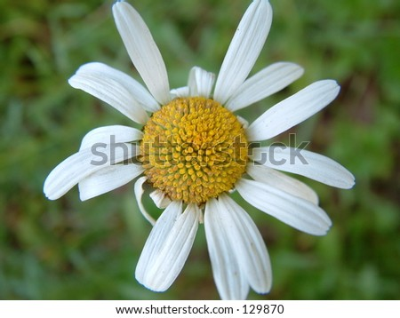 Close up of daisy - stock photo