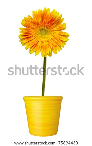 close up of  daisy flower on white background - stock photo