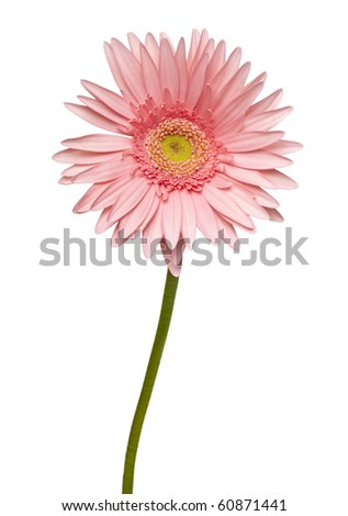close up of  daisy flower on white background  with clipping path - stock photo