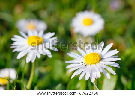 Close-up of daisy flowers - stock photo