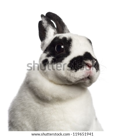 Close-up of Dalmatian Rabbit against white background