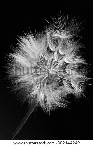 Close-up of dandelion (goatsbeard) on black background. Black and white image. Shallow DOF, focus on seed. - stock photo