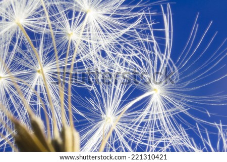Close up of dandelion head clock seeds. Some seeds are missing and have been blown away. - stock photo