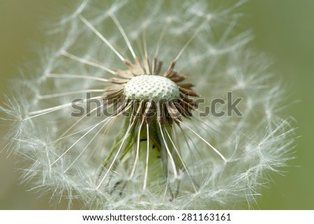 close up of Dandelion on background green grass - stock photo