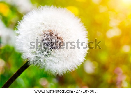 Close-up of dandelion on green sunny meadow. Spring theme - stock photo