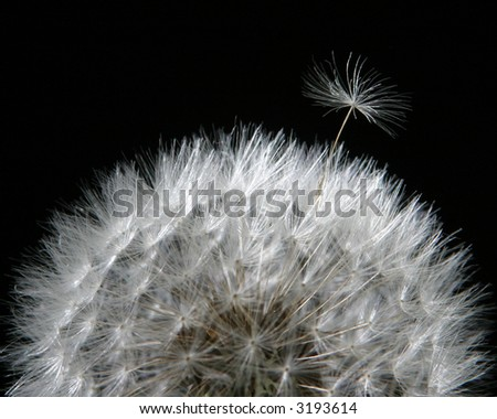 Close up of dandelion, one frond leaving home. Great illustration of independence, success, growth, creation, etc. - stock photo