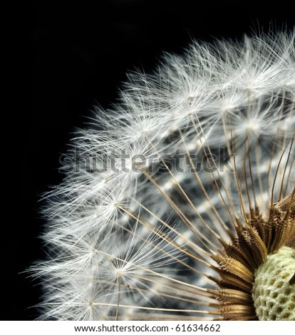close-up of dandelion seed head - stock photo