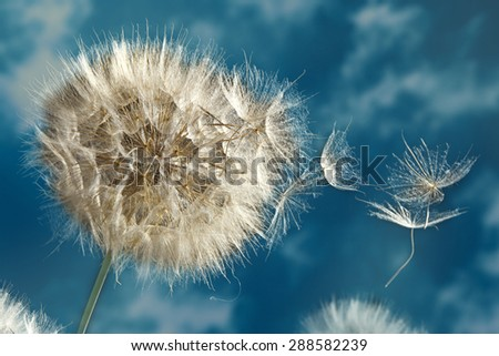 Close up of dandelion spores blowing away on the blu sky - stock photo