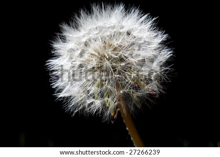 close-up of dandelion with black background