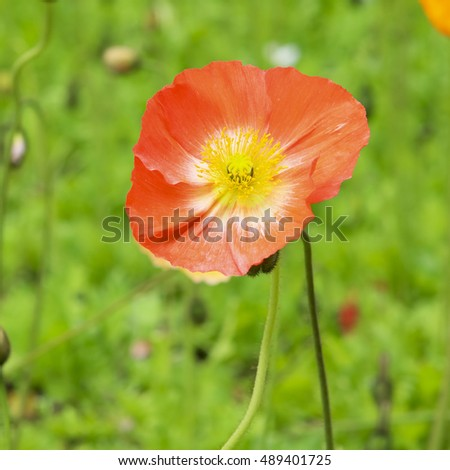 Close up of deep orange poppy flower