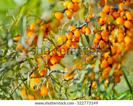Close-up of delicious and healthy ripe sea-buckthorn berries - stock photo