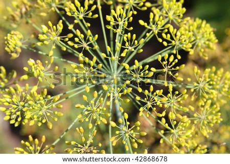 Close-up of dill inflorescence - stock photo