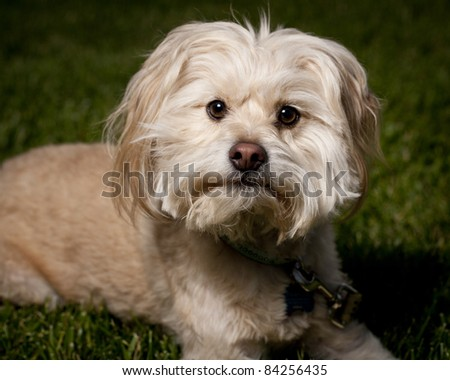 close up of dog on front lawn laying down looking at the camera