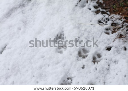 Close dog tracks snow stock photo 590628071 shutterstock close up of dog tracks in the snow publicscrutiny Choice Image