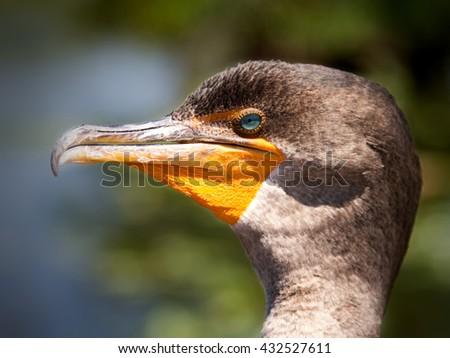 Close up of Double Crested Cormorant (Phalacrocorax auritus)