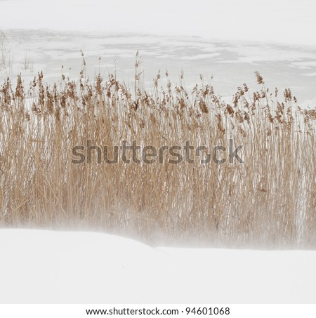 Close up of dry crops surrounded with snow - stock photo