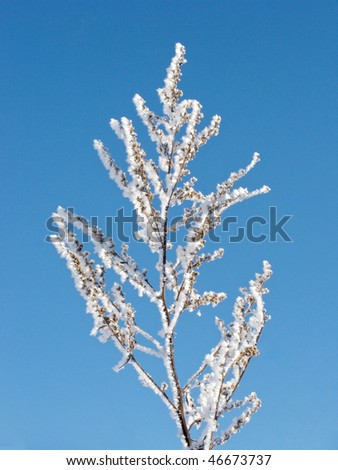 Close up of dry grass branch with hoarfrost
