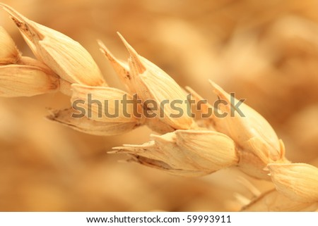 Close-up of ear of wheat. - stock photo