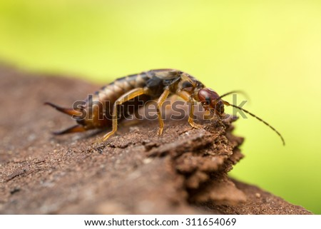 Close up of earwig on wood, copy space in the photo - stock photo