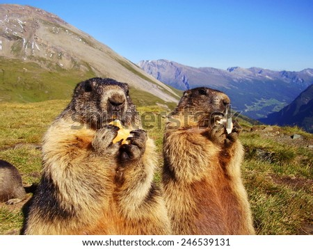 close up of eating marmot in nature - stock photo