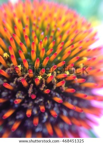 Close up of Echinacea flower