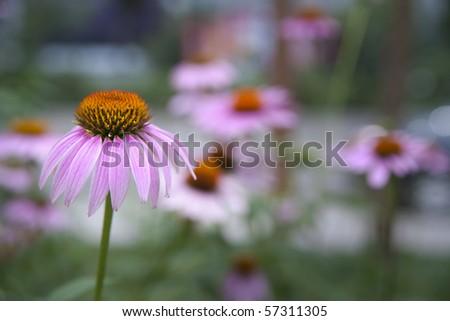 Close up of echinacea flower - stock photo