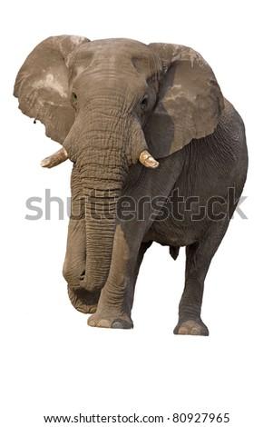 Close-up of Elephant bull against a white background; Loxodonta Africana - stock photo