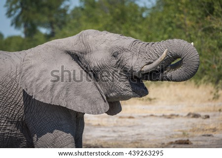 Close-up of elephant drinking with trunk raised - stock photo