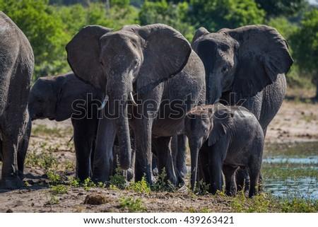 Close-up of elephant family walking towards camera - stock photo