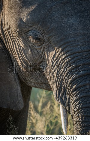 Close-up of elephant head in golden light - stock photo