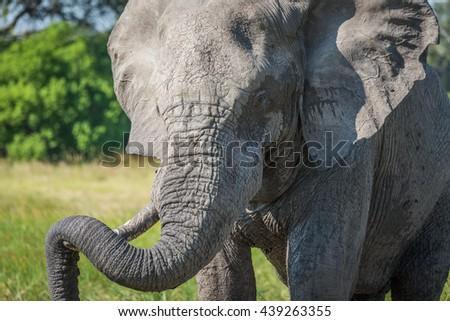 Close-up of elephant resting trunk on tusk - stock photo