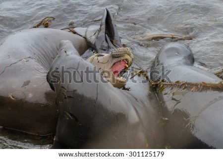close up of elephant seals in a bad mood trying to bite one another - stock photo