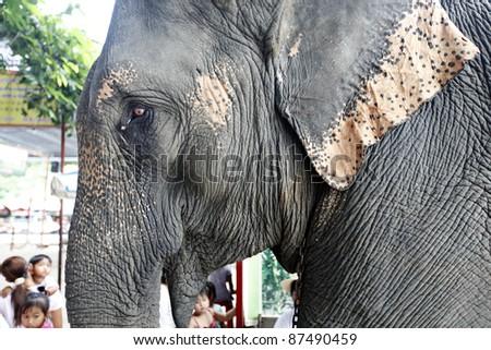 close up of Elephant, Thailand - stock photo