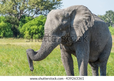 Close-up of elephant with trunk on tusk - stock photo