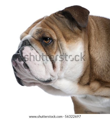 Close-up of English Bulldog, 18 months old, in front of white background - stock photo
