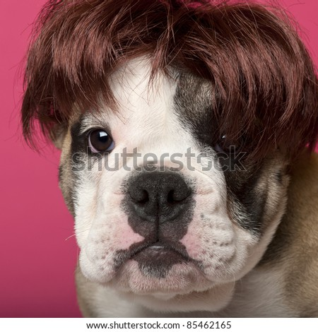 Close-up of English Bulldog puppy wearing a wig, 11 weeks old, in front of pink background