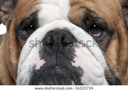 Close-up of English Bulldog, 2 years old - stock photo