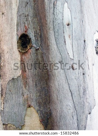 Close up of eucalyptus tree bark, background