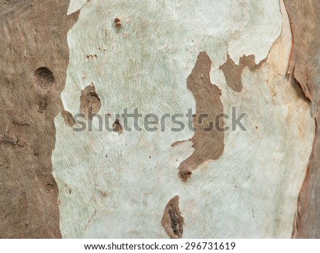 Close up of eucalyptus tree bark, background - stock photo