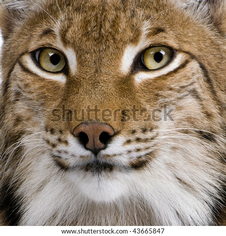 Close-up of Eurasian Lynx, Lynx lynx, 5 years old - stock photo