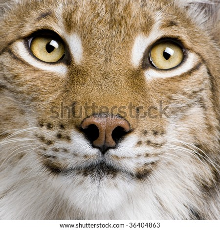 Close-up of Eurasian Lynx, lynx lynx, 5 years old, studio shot - stock photo