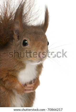 Close-up of Eurasian red squirrel, Sciurus vulgaris, 4 years old, in front of white background - stock photo