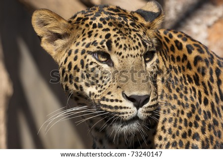 Close-up of face and torso of beautiful spotted leopard